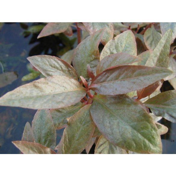 Alternanthera lilanchina
