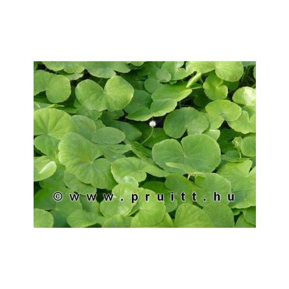 Hydrocotyle leucaphala
