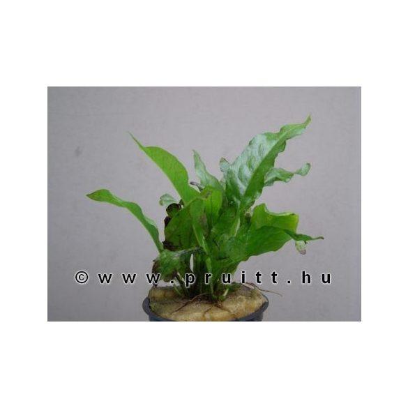 Microsorium pteroptus