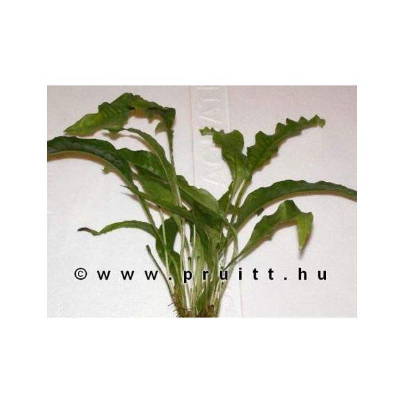"""Microsorium pteroptus """"Latifolia"""""""
