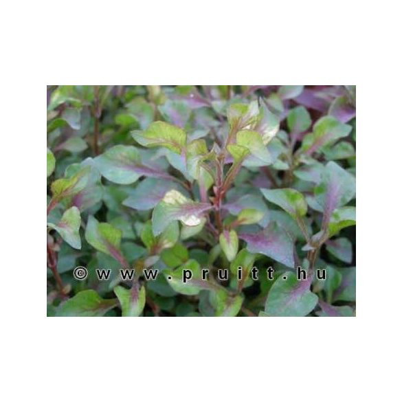"Alternanthera betzickiana ""Red"""