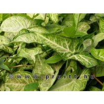 """Syngonium """"White Butterfly"""""""