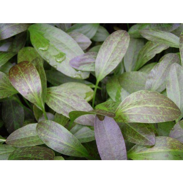 """Echinodorus """"Greenflame"""""""