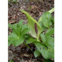 Arum maculatum
