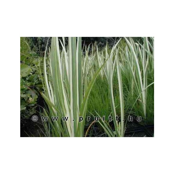 Iris ensata variegata