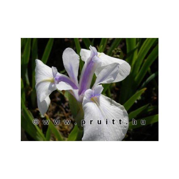 Iris laviegata Snowdrift