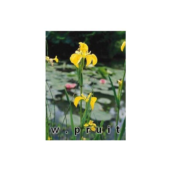 Irisz pseudocorus