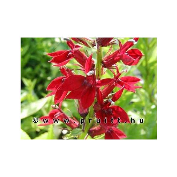 "Lobelia cinnabar ""Rouge"""