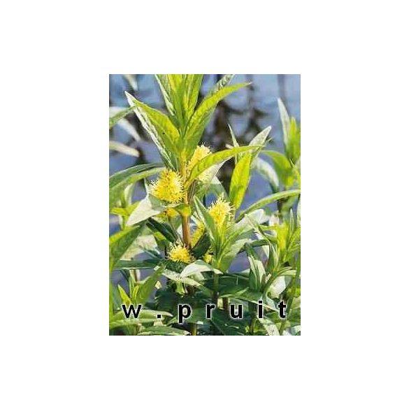 Lysmachia vulgaris