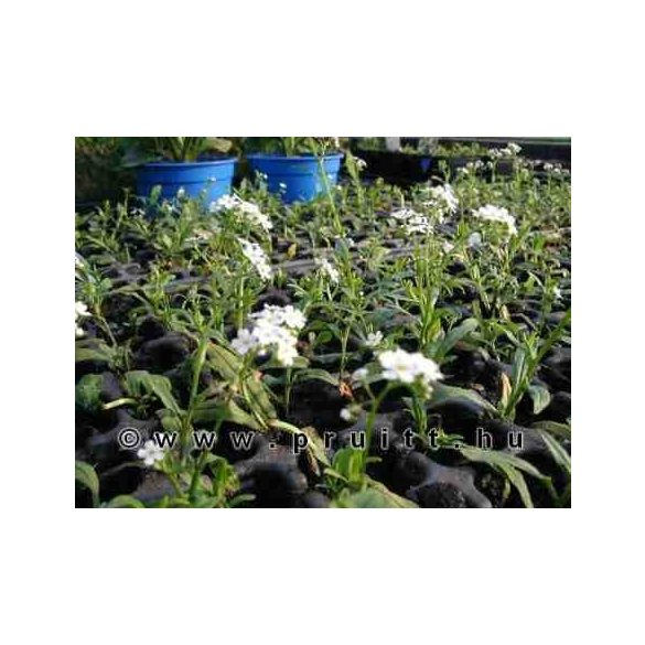 """Myosotis palustris """"Alba"""""""