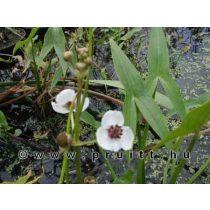 Sagittaria sagitifolia