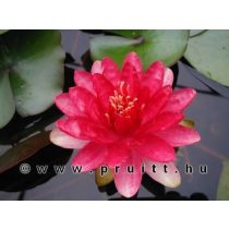 Nymphaea Red Paradise