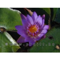 Nymphaea Panama Pacific