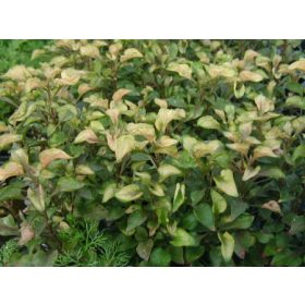 Terráriumi növények
