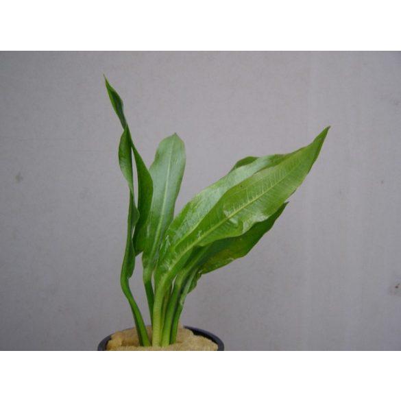 Echinodorus amasonicus