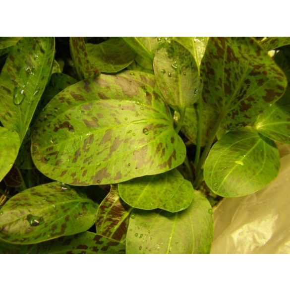 "Echinodorus ozelot ""Green"""