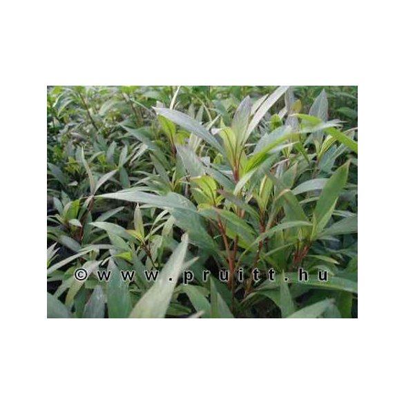 Hygrophila angustifolia