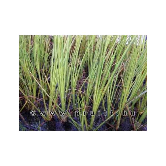 Acorus gramineus variegata
