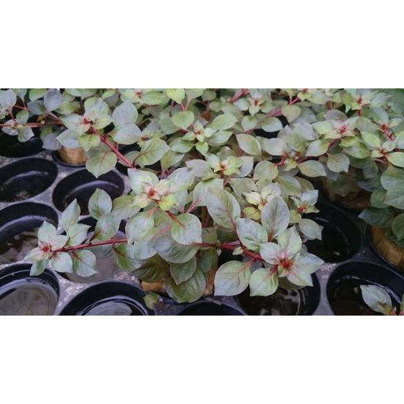 "Ludwigia ""Super Red Mini"""