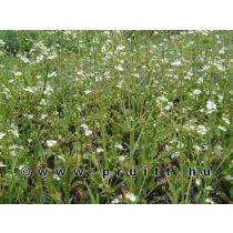 Alisma parviflora
