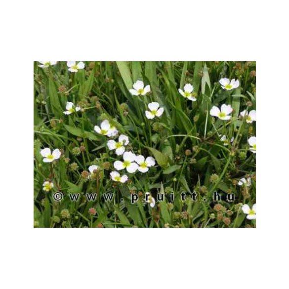 Baldelia ranunculoides