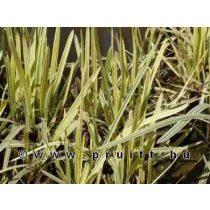"Glyceria maxima ""variegata"""