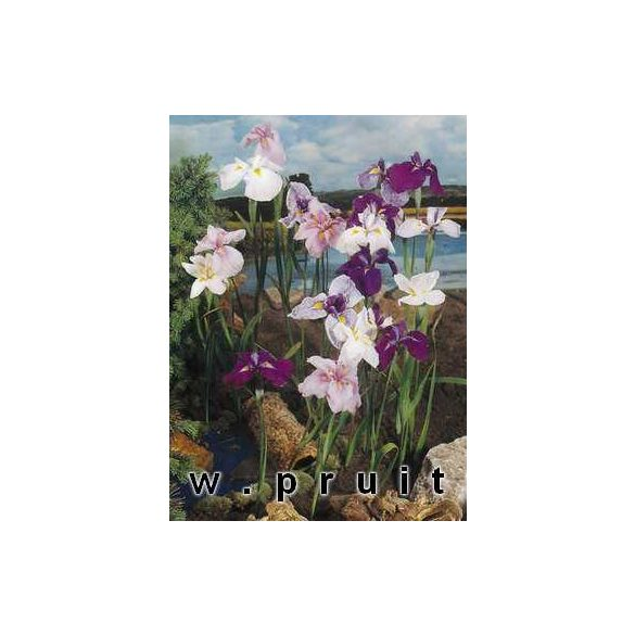 Iris kaempfery