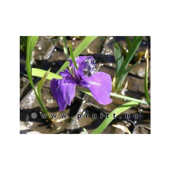 Iris kaempfery blue