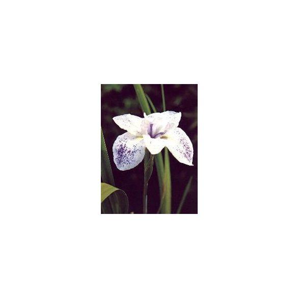 Iris laviegata
