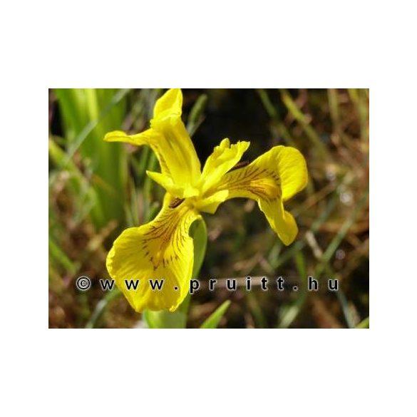 Iris pseudocorus variegata