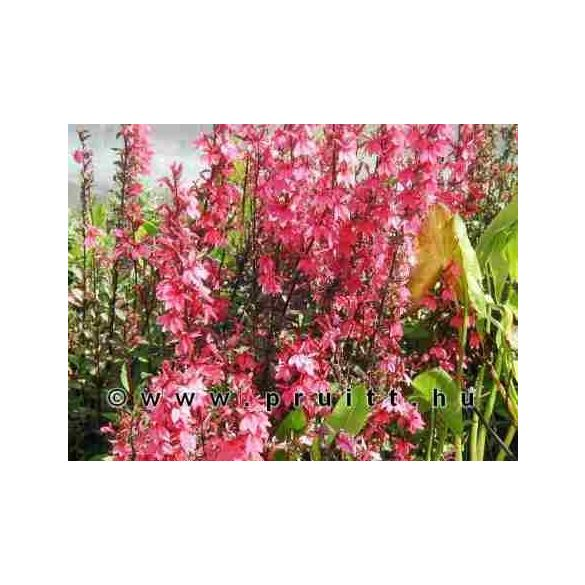 Lobelia cinnabar rosea