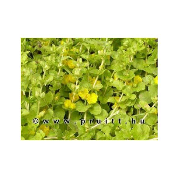 Lysmachia nummularia