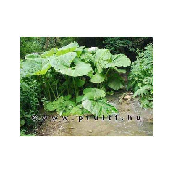 Petosites hybridus