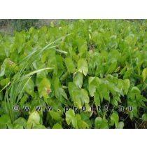 Sagitaria latifolia