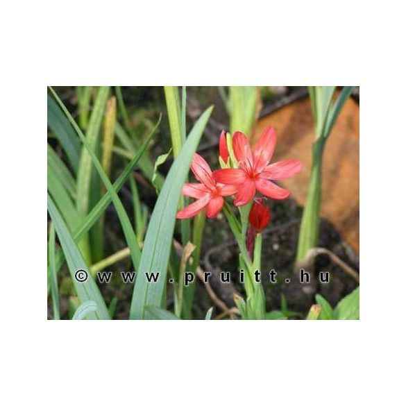 Schizostylis coccinea major