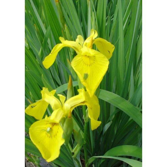 Iris pseudocorus Flora Plena