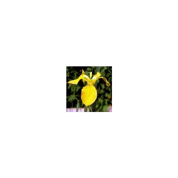 Iris louisiana yellow