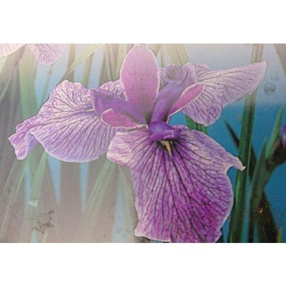 Iris kaempferi Prairie Glory