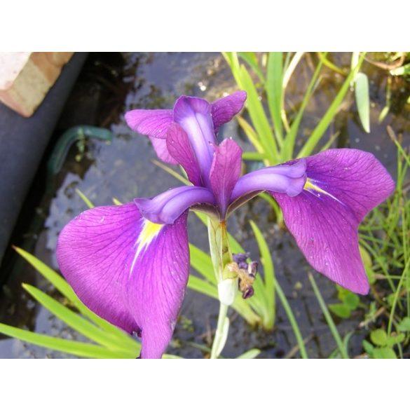 Iris laviegata Rose Queen