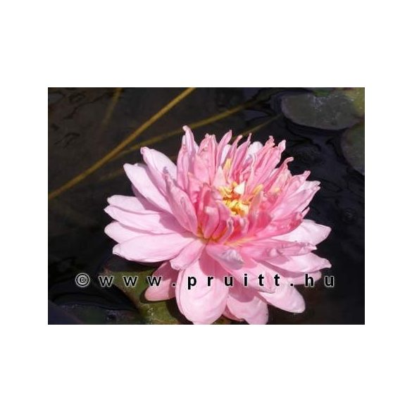 Nymphaea Lilypons