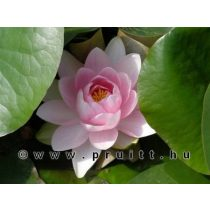 Nymphaea Madame Wilfron Gonnere