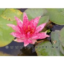 Nymphaea Red Spider