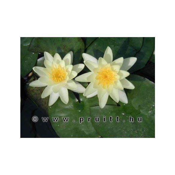 Nymphaea Sulphurea