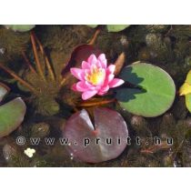 Nymphaea Yuh Ling