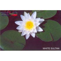 Nymphaea White Sultan