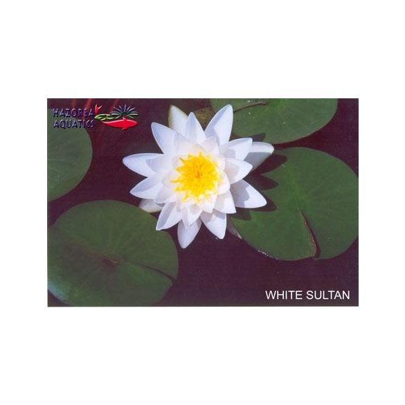 Nymphaea White Sultan