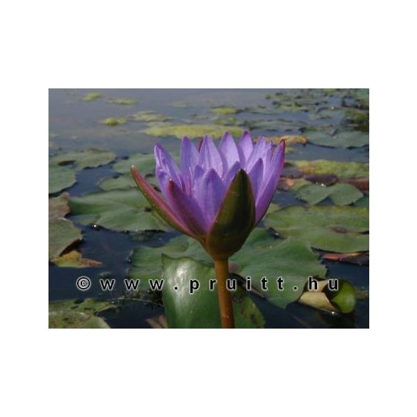 Nymphaea King of the Blues