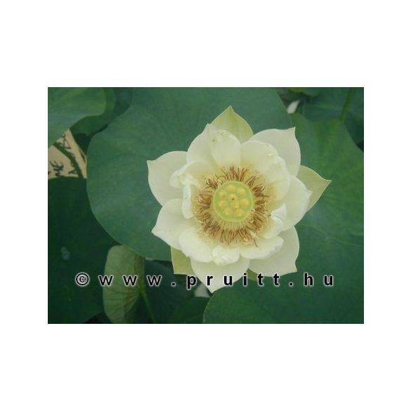 "Nymphaea Nelumbo Nucifera ""White"""