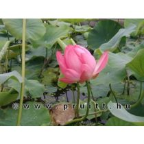 "Nymphaea Nelumbo Nucifera ""Rose"""