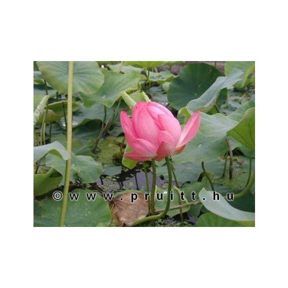 "Nymphaea Nelumbo Nucifera ""Rose"""